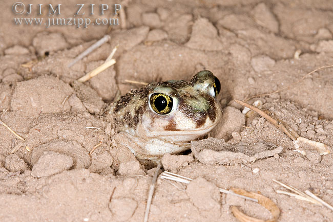 Plains Spadefoot Toad, Spea bombifrons. Series of images showing the toad turning and digging down into the sand using his spade like foot.  South Texas in March.